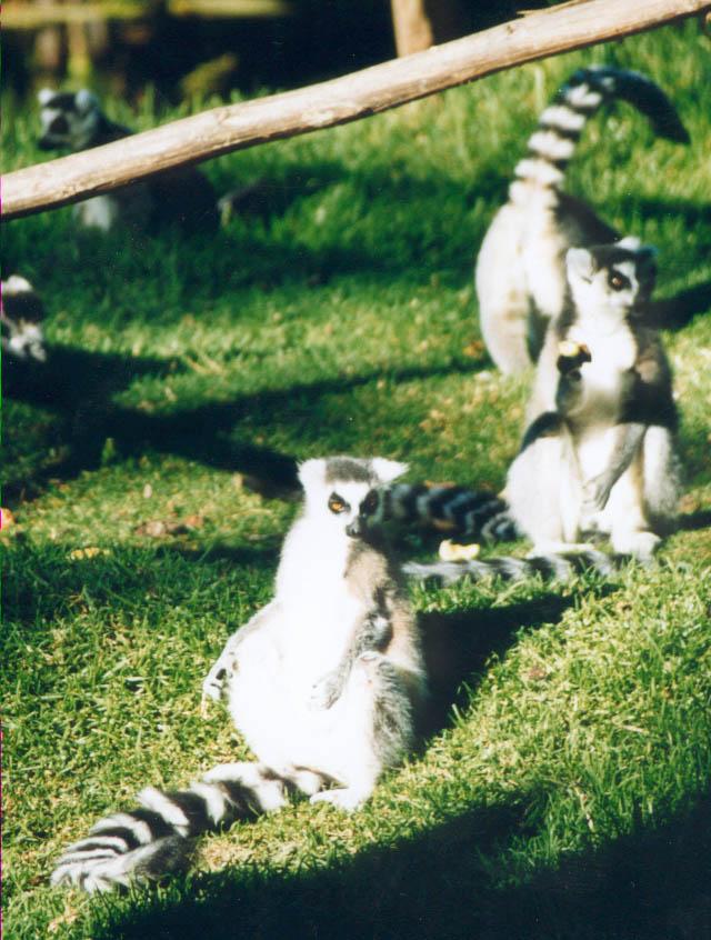 lemur-aye-aye.jpg